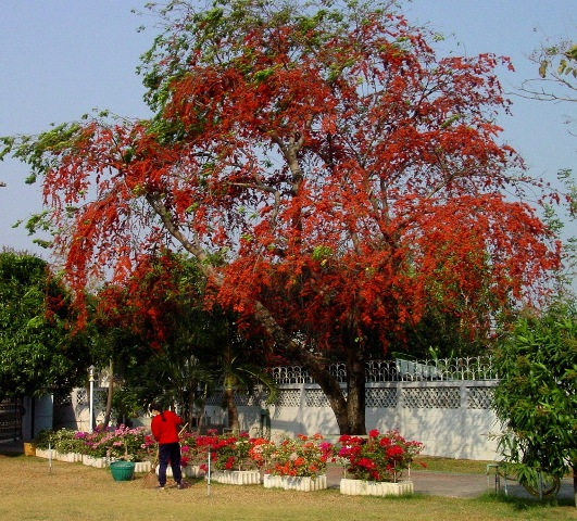 ต้นประดู่แดง ไม้ประดู่แดง
