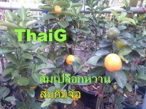 ผลส้มกิมจ้อ ส้มจีน กินได้ทั้งเปลือกและเนื้อ